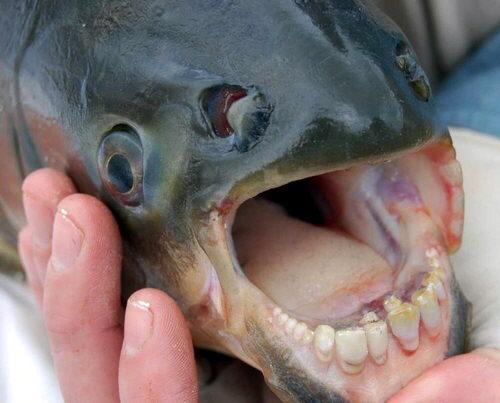 Pez con dientes humanos